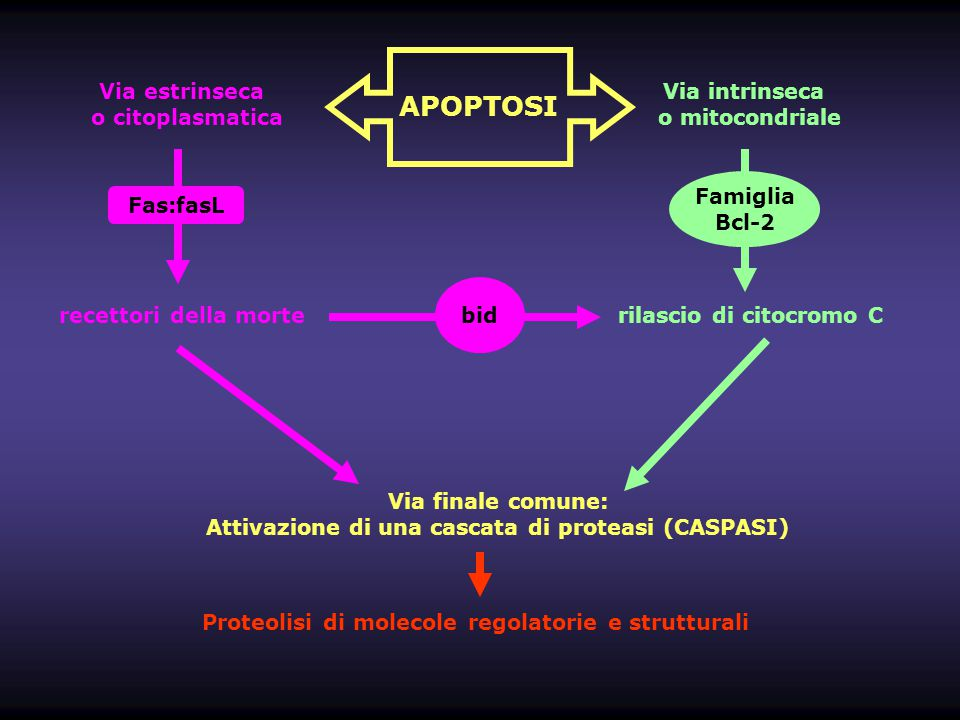 Il segnalamento apoptotico – La famiglia delle proteine Bcl-2 Pro-Sopravvivenza Famiglia Bcl2 Bcl- X L Bfl-1 Bcl- W Mcl1 ( formatori di canali/pori mitocondriali ) Pro-Apoptosi Famiglia Bax Bak Bok Famiglia BH3-only ( sentinelle dell'apoptosi ) Bid Bad, Bim, Bik, Bmf, Hrk, Noxa, Puma