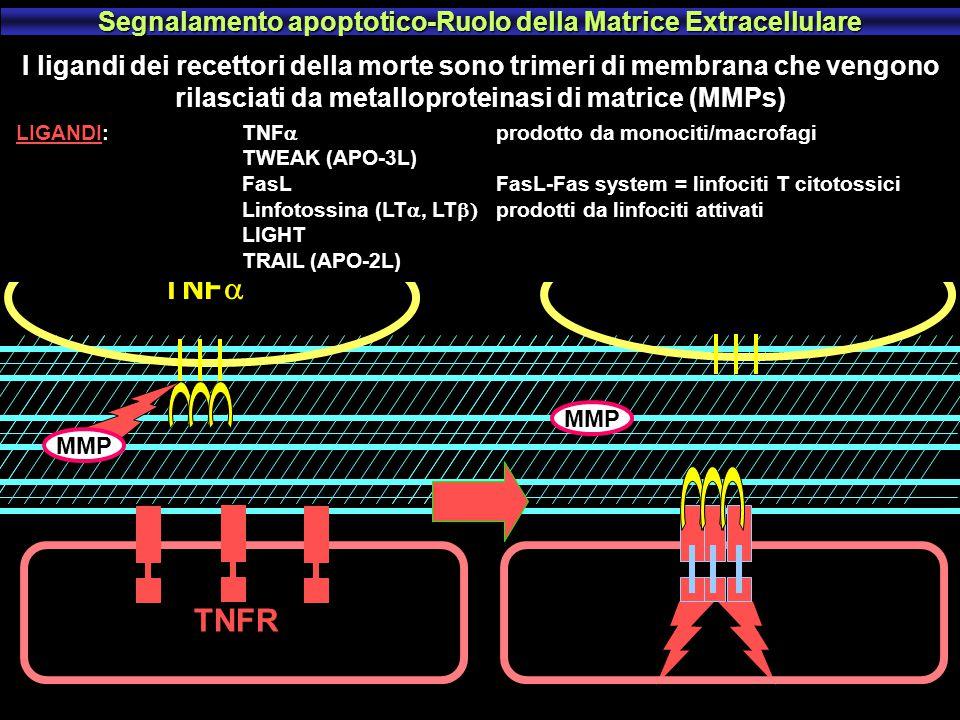 Effetti pro-apoptotici del Calcio Chinasi Akt/PKB PKA Bad P SOPRAVVIVENZA Apaf-1 14-3-3 sequestra BAD Bad Bad MORTE Fosfatasi Calcineurina Apaf-1