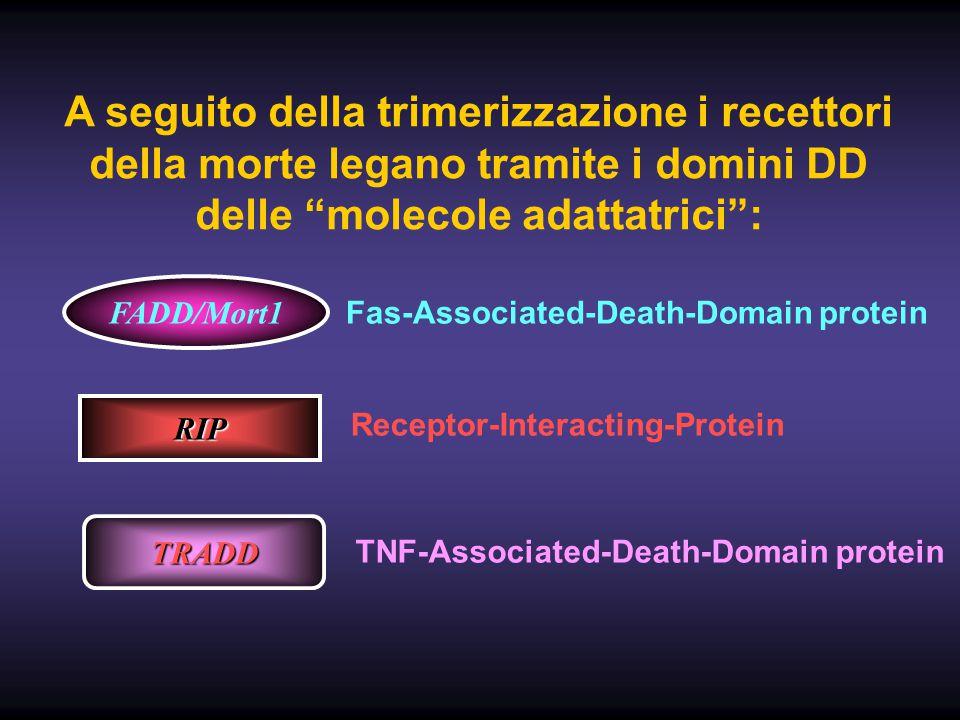 """A seguito della trimerizzazione i recettori della morte legano tramite i domini DD delle """"molecole adattatrici"""": FADD/Mort1 Fas-Associated-Death-Domai"""