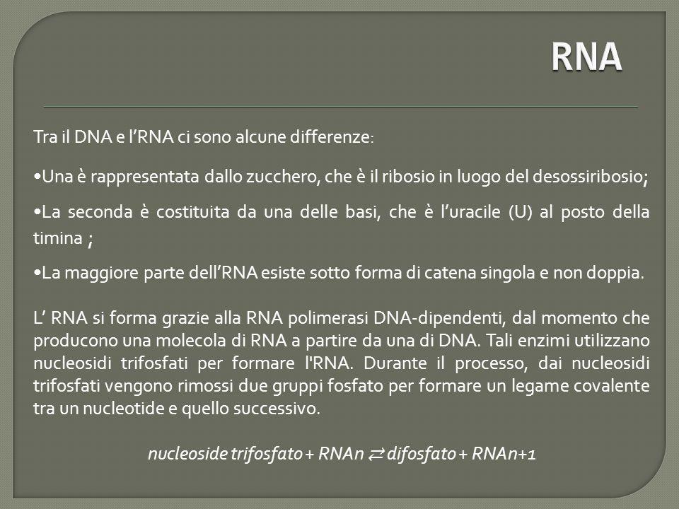 Tra il DNA e l'RNA ci sono alcune differenze: Una è rappresentata dallo zucchero, che è il ribosio in luogo del desossiribosio ; La seconda è costituita da una delle basi, che è l'uracile (U) al posto della timina ; La maggiore parte dell'RNA esiste sotto forma di catena singola e non doppia.