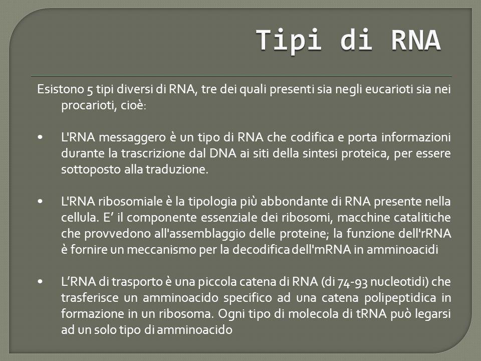 Esistono 5 tipi diversi di RNA, tre dei quali presenti sia negli eucarioti sia nei procarioti, cioè: L RNA messaggero è un tipo di RNA che codifica e porta informazioni durante la trascrizione dal DNA ai siti della sintesi proteica, per essere sottoposto alla traduzione.
