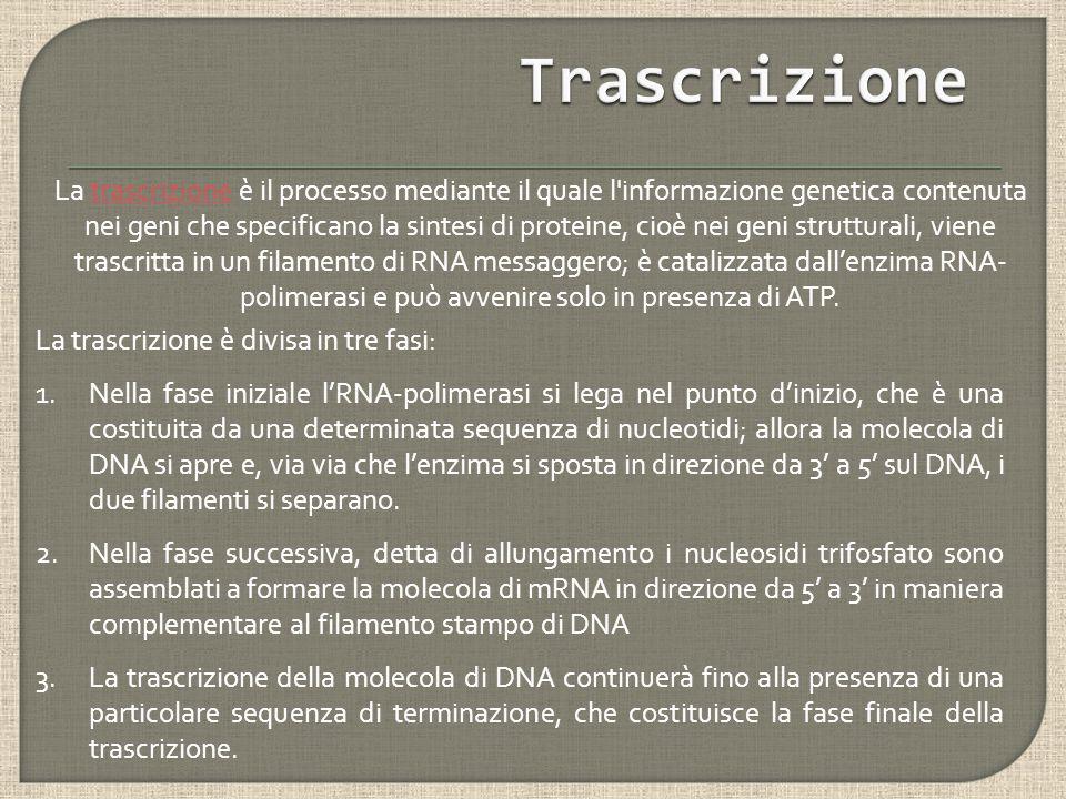 La trascrizione è divisa in tre fasi: 1.Nella fase iniziale l'RNA-polimerasi si lega nel punto d'inizio, che è una costituita da una determinata sequenza di nucleotidi; allora la molecola di DNA si apre e, via via che l'enzima si sposta in direzione da 3' a 5' sul DNA, i due filamenti si separano.