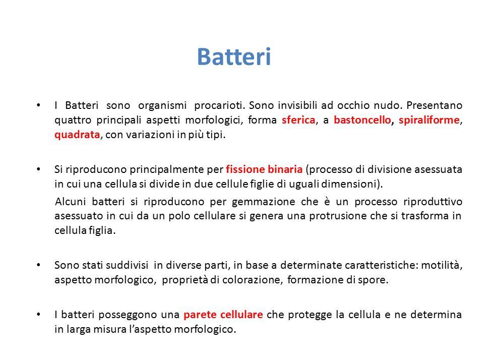 Batteri I Batteri sono organismi procarioti. Sono invisibili ad occhio nudo. Presentano quattro principali aspetti morfologici, forma sferica, a basto