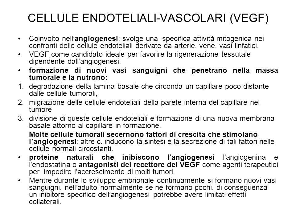 CELLULE ENDOTELIALI-VASCOLARI (VEGF) Coinvolto nell'angiogenesi: svolge una specifica attività mitogenica nei confronti delle cellule endoteliali deri