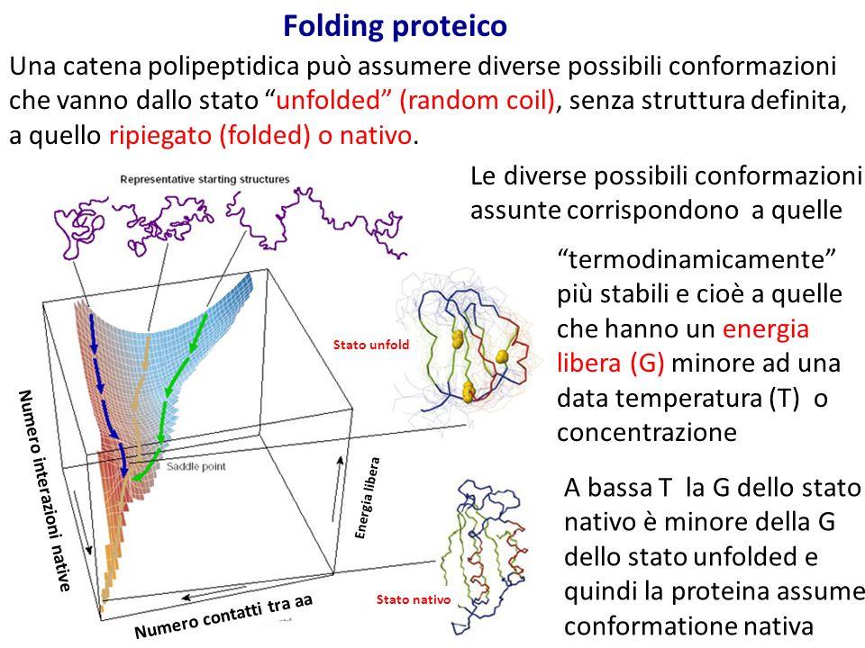 """Una catena polipeptidica può assumere diverse possibili conformazioni che vanno dallo stato """"unfolded"""" (random coil), senza struttura definita, a quel"""