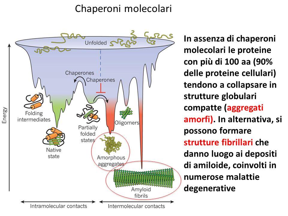 Chaperoni molecolari In assenza di chaperoni molecolari le proteine con più di 100 aa (90% delle proteine cellulari) tendono a collapsare in strutture