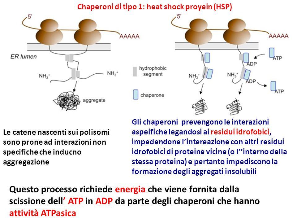 Le catene nascenti sui polisomi sono prone ad interazioni non specifiche che inducno aggregazione Gli chaperoni prevengono le interazioni aspeifiche l