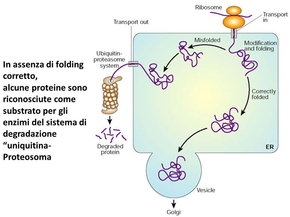 """In assenza di folding corretto, alcune proteine sono riconosciute come substrato per gli enzimi del sistema di degradazione """"uniquitina- Proteosoma"""