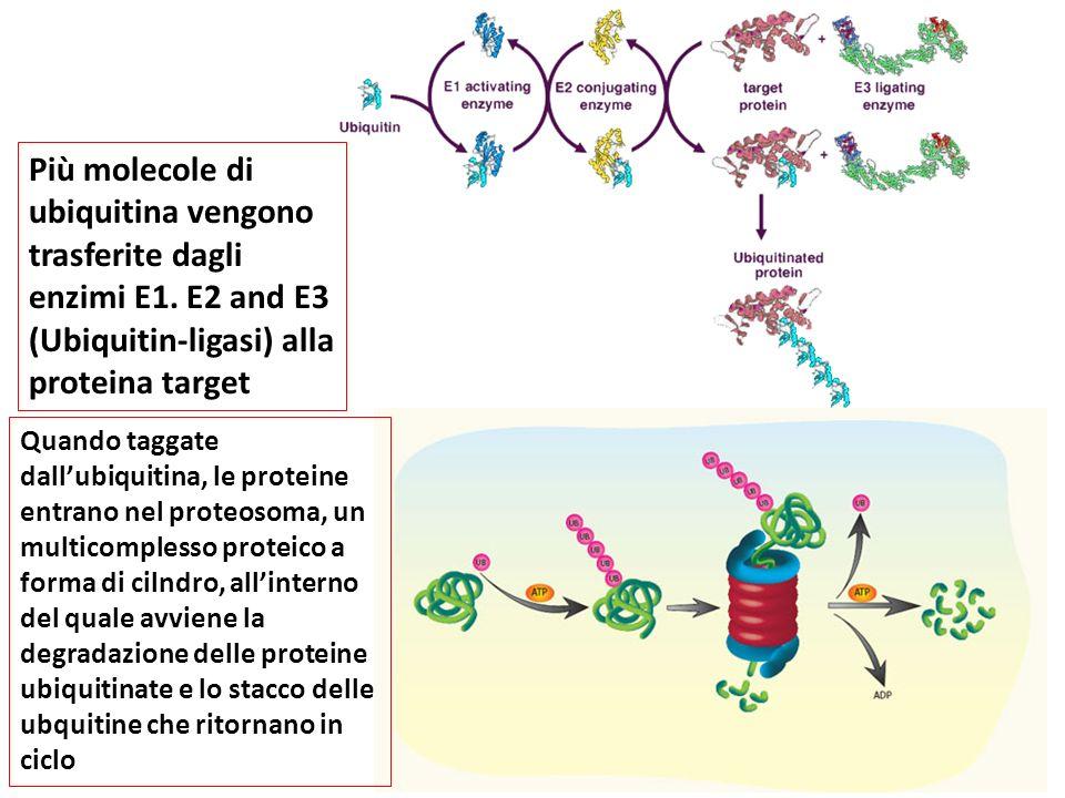 Più molecole di ubiquitina vengono trasferite dagli enzimi E1. E2 and E3 (Ubiquitin-ligasi) alla proteina target Quando taggate dall'ubiquitina, le pr