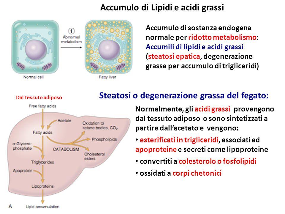 L'accumulo di lipidi può essere la conseguenza di difetti delle normali vie catabiliche o metaboliche delgi acidi grassi: esempi: L'anossia inibisce l' ossidazione in corpi chetonici Epatotossine alterano le funzioni mitocondriali e quindi l'ossidazione degli acidi grassi Il digiuno aumento la mobilitazione dei depositi periferici