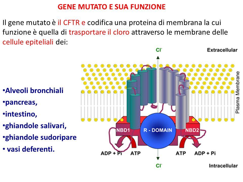 GENE MUTATO E SUA FUNZIONE Il gene mutato è il CFTR e codifica una proteina di membrana la cui funzione è quella di trasportare il cloro attraverso le