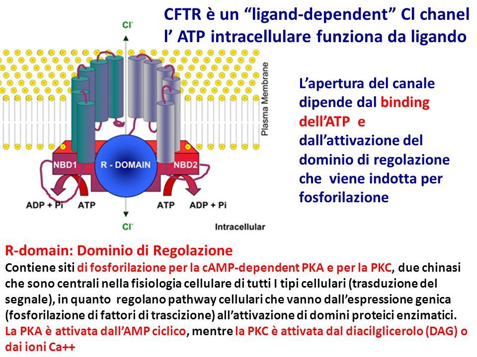 R-domain: Dominio di Regolazione Contiene siti di fosforilazione per la cAMP-dependent PKA e per la PKC, due chinasi che sono centrali nella fisiologi