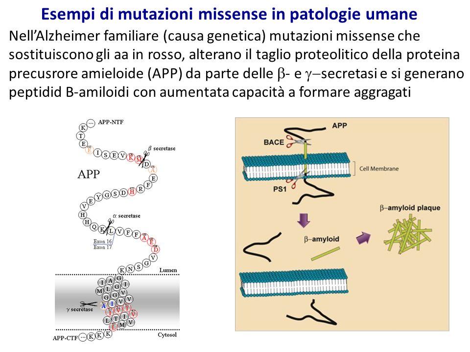 Esempi di mutazioni missense in patologie umane Nell'Alzheimer familiare (causa genetica) mutazioni missense che sostituiscono gli aa in rosso, altera