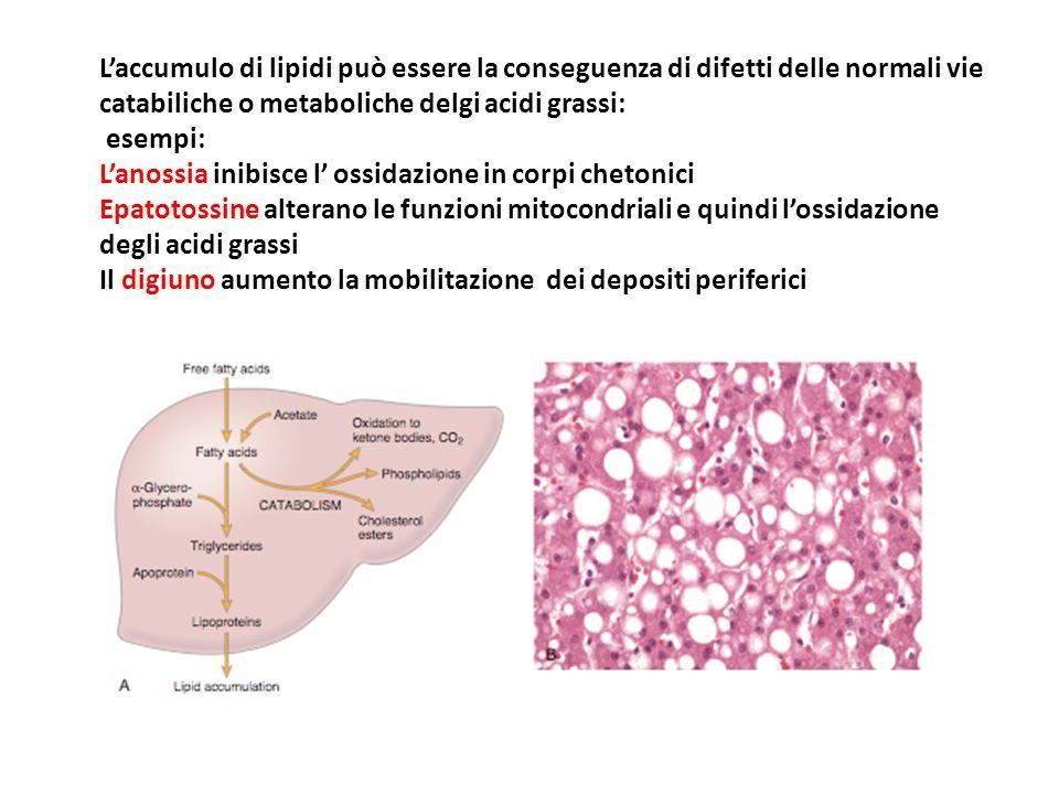 L'accumulo di lipidi può essere la conseguenza di difetti delle normali vie catabiliche o metaboliche delgi acidi grassi: esempi: L'anossia inibisce l