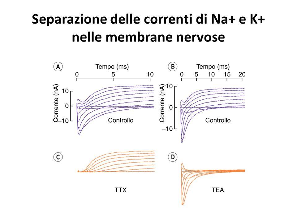 Separazione delle correnti di Na+ e K+ nelle membrane nervose