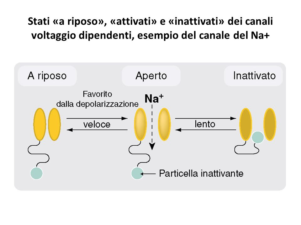 Stati «a riposo», «attivati» e «inattivati» dei canali voltaggio dipendenti, esempio del canale del Na+