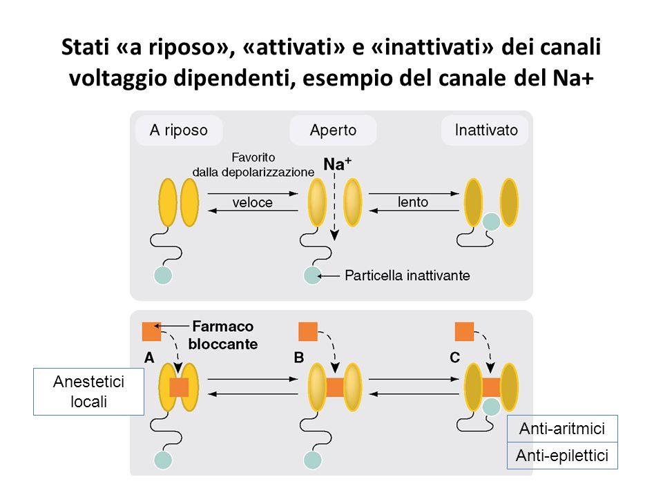 Stati «a riposo», «attivati» e «inattivati» dei canali voltaggio dipendenti, esempio del canale del Na+ Anti-aritmici Anti-epilettici Anestetici locali