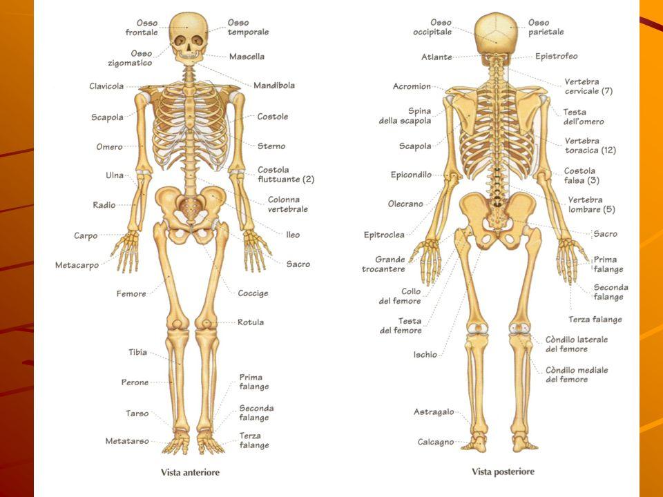 LE OSSA Lo scheletro è formato da 206 ossa che si suddividono: Ossa lunghe come l' omero; Ossa corte come le vertebre; Ossa piatte come la scapola. Lo
