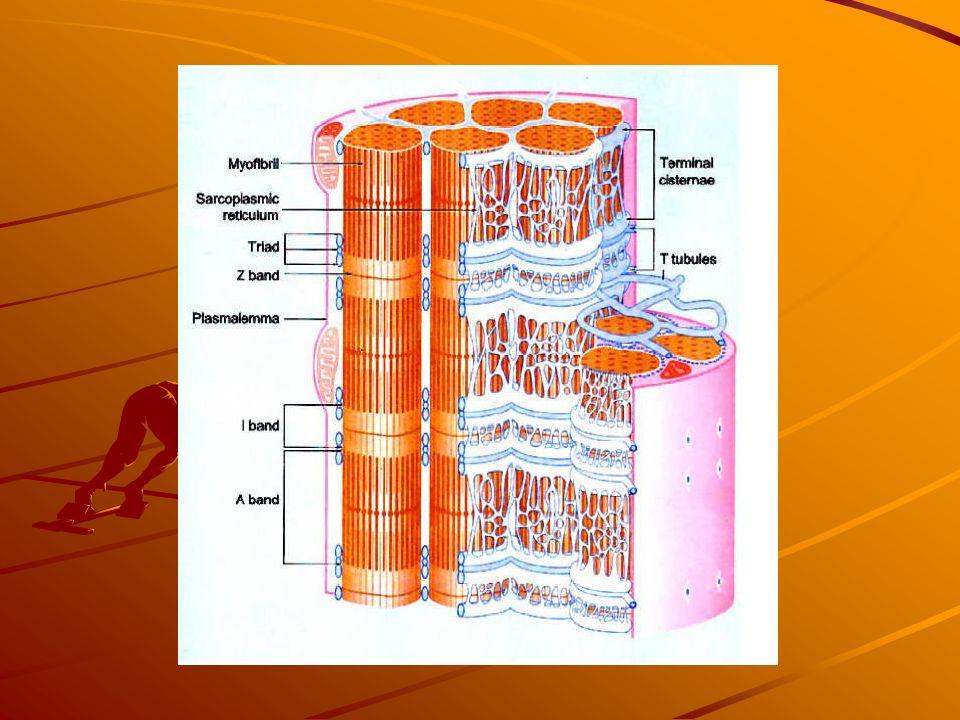 Tessuto muscolare striato E' responsabile dei movimenti involontari. Nel muscolo striato le miofibrille sono compatte e addossate le une alle altre e