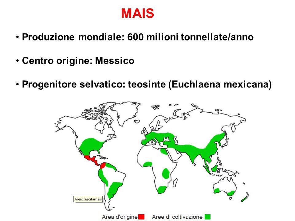 MAIS Produzione mondiale: 600 milioni tonnellate/anno Centro origine: Messico Progenitore selvatico: teosinte (Euchlaena mexicana)