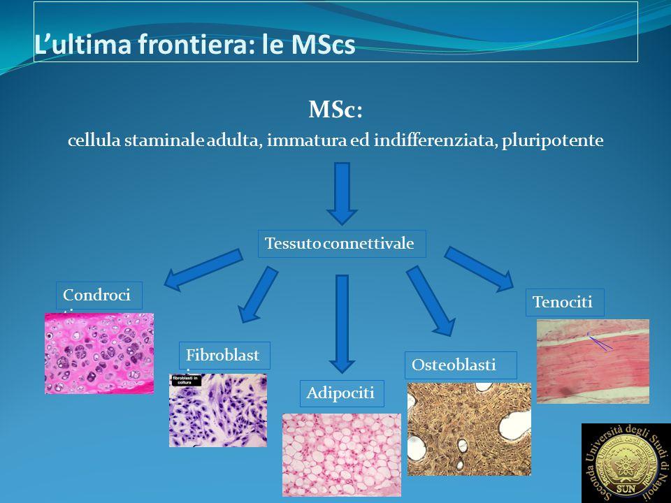 L'ultima frontiera: le MScs MSc: cellula staminale adulta, immatura ed indifferenziata, pluripotente Tessuto connettivale Condroci ti Fibroblast i Adi