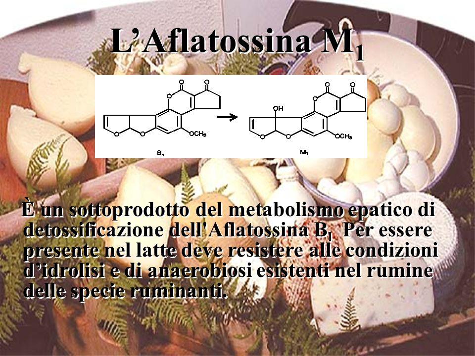 L'Aflatossina M 1 È un sottoprodotto del metabolismo epatico di detossificazione dell'Aflatossina B l Per essere presente nel latte deve resistere all