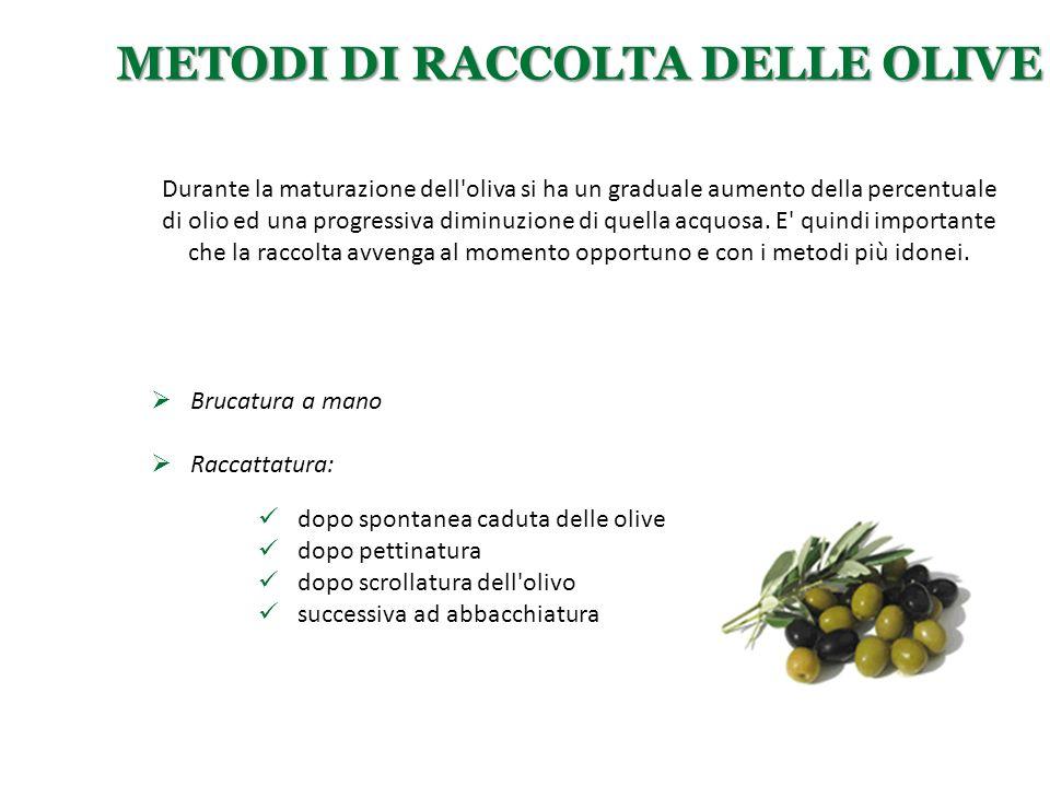 METODI DI RACCOLTA DELLE OLIVE  Brucatura a mano  Raccattatura: Durante la maturazione dell'oliva si ha un graduale aumento della percentuale di oli
