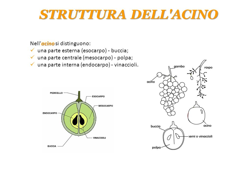 acino Nell'acino si distinguono: una parte esterna (esocarpo) - buccia; una parte centrale (mesocarpo) - polpa; una parte interna (endocarpo) - vinacc