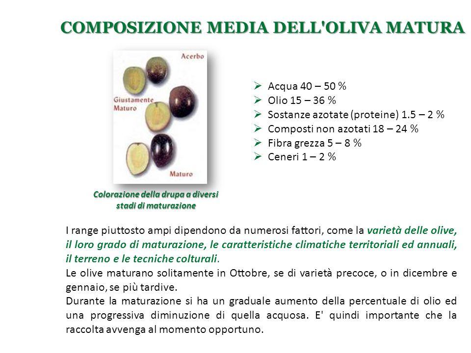 Colorazione della drupa a diversi stadi di maturazione COMPOSIZIONE MEDIA DELL'OLIVA MATURA  Acqua 40 – 50 %  Olio 15 – 36 %  Sostanze azotate (pro