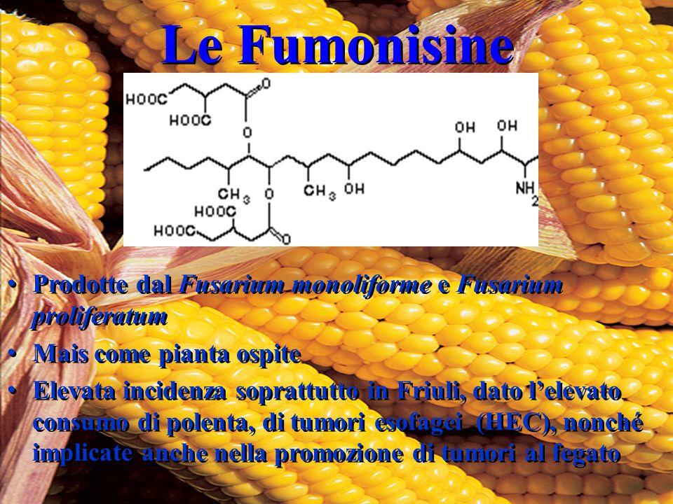 Le Fumonisine Prodotte dal Fusarium monoliforme e Fusarium proliferatum Mais come pianta ospite Elevata incidenza soprattutto in Friuli, dato l'elevat
