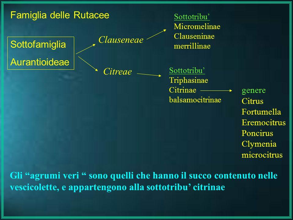 Famiglia delle Rutacee Clauseneae Citreae Sottofamiglia Aurantioideae Sottotribu' Micromelinae Clauseninae merrillinae Sottotribu' Triphasinae Citrina