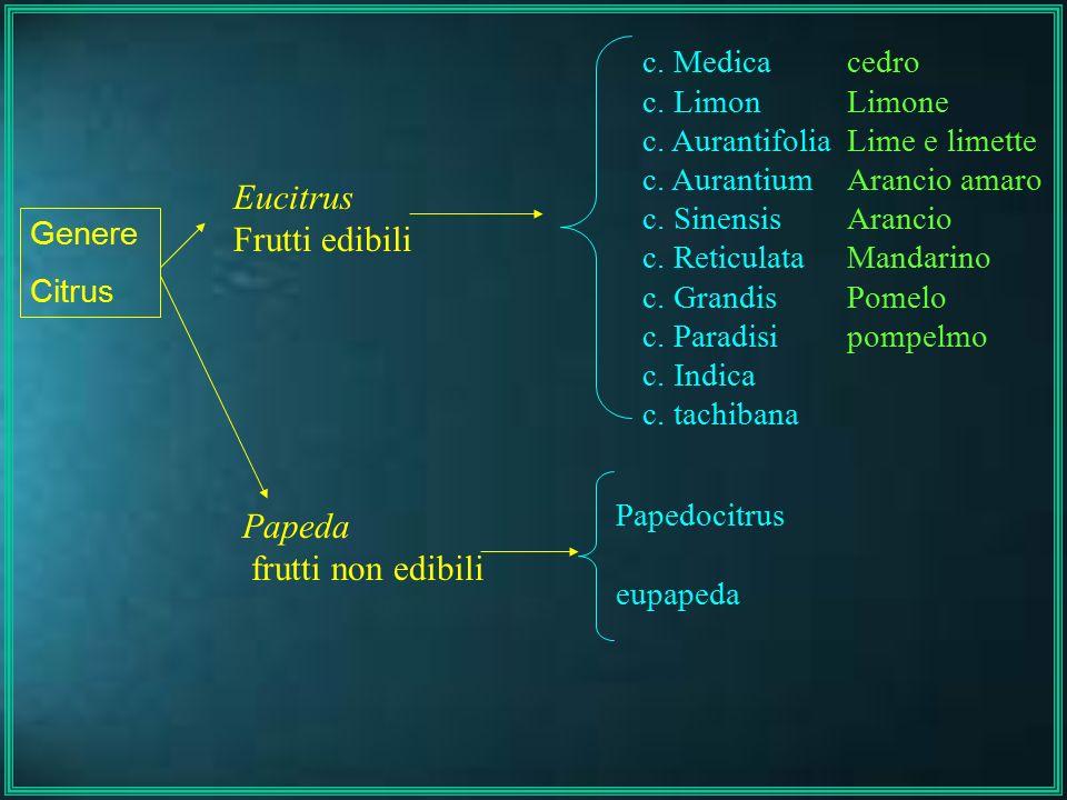 Eucitrus Frutti edibili Papeda frutti non edibili Genere Citrus c. Medica c. Limon c. Aurantifolia c. Aurantium c. Sinensis c. Reticulata c. Grandis c