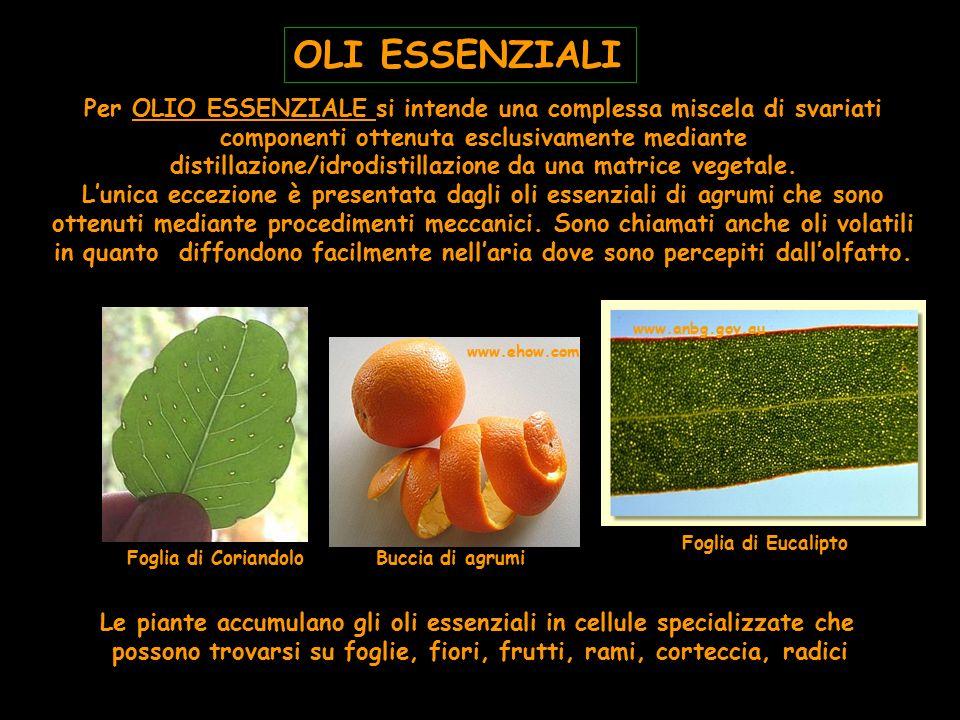 Le piante accumulano gli oli essenziali in cellule specializzate che possono trovarsi su foglie, fiori, frutti, rami, corteccia, radici Foglia di Cori