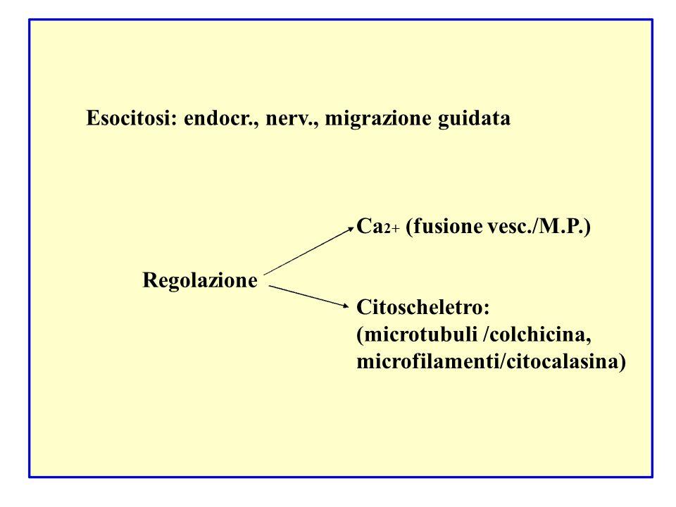Esocitosi: endocr., nerv., migrazione guidata Ca 2+ (fusione vesc./M.P.) Regolazione Citoscheletro: (microtubuli /colchicina, microfilamenti/citocalas