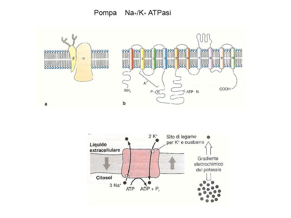 PompaNa + /K + ATPasi