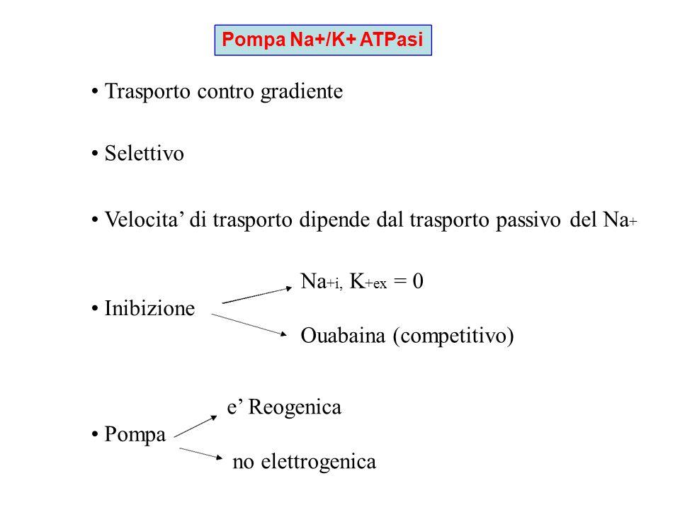 Caratteristiche del trasporto attivo Richiede energia Mediato da complesso proteico Inibito da inibitori del metabolismo Cinetica di saturazione Modello di funzionamento: cambiamenti conformazionali