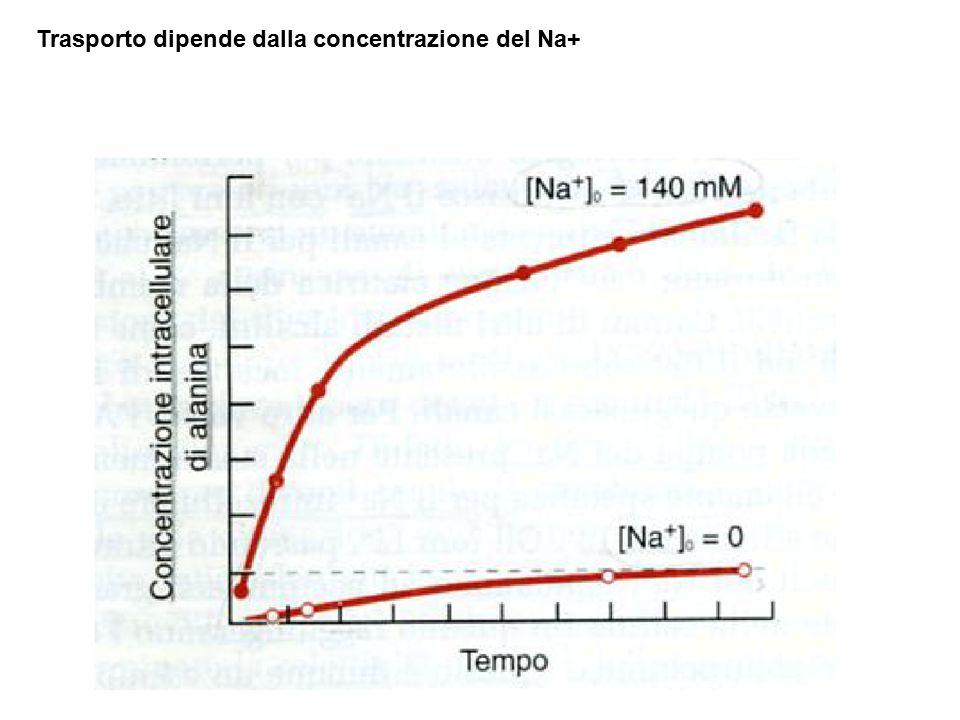 Trasporto dipende dalla concentrazione del Na+