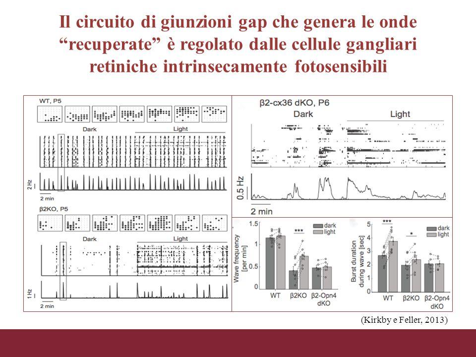 """Il circuito di giunzioni gap che genera le onde """"recuperate"""" è regolato dalle cellule gangliari retiniche intrinsecamente fotosensibili (Kirkby e Fell"""