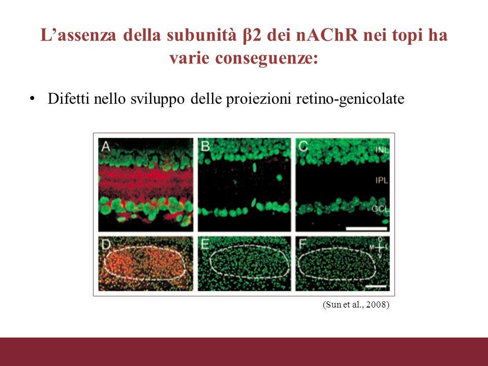 L'assenza della subunità β2 dei nAChR nei topi ha varie conseguenze: Difetti nello sviluppo delle proiezioni retino-genicolate (Sun et al., 2008)