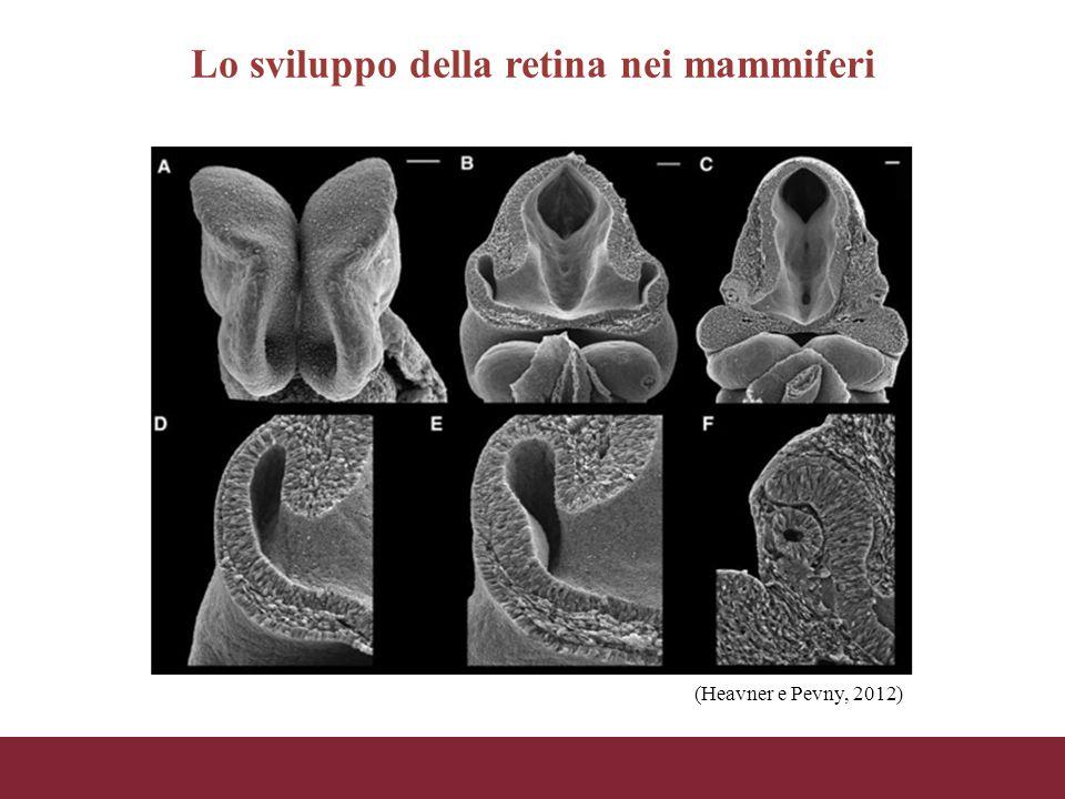 Lo sviluppo della retina nei mammiferi (Heavner e Pevny, 2012)