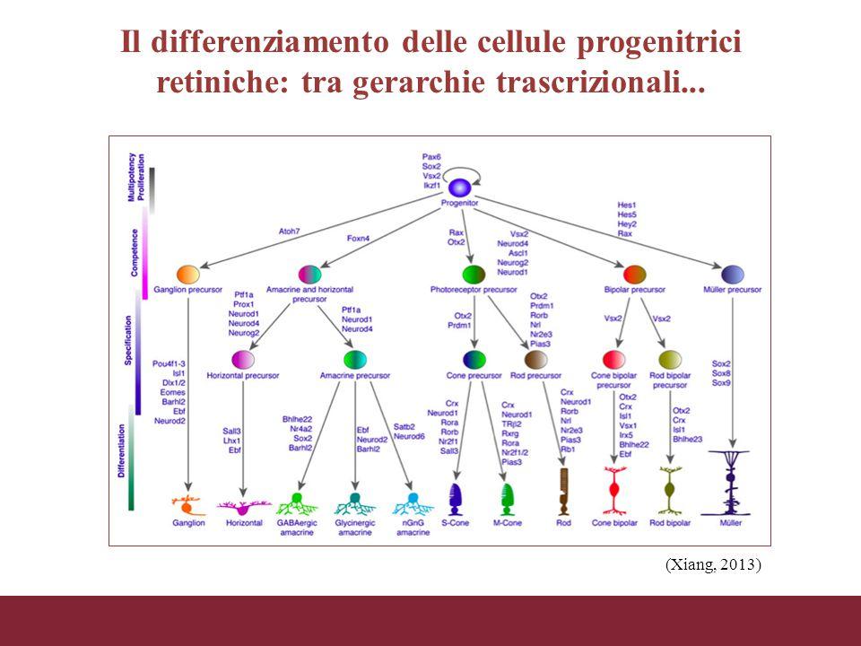 Il differenziamento delle cellule progenitrici retiniche: tra gerarchie trascrizionali... (Xiang, 2013)