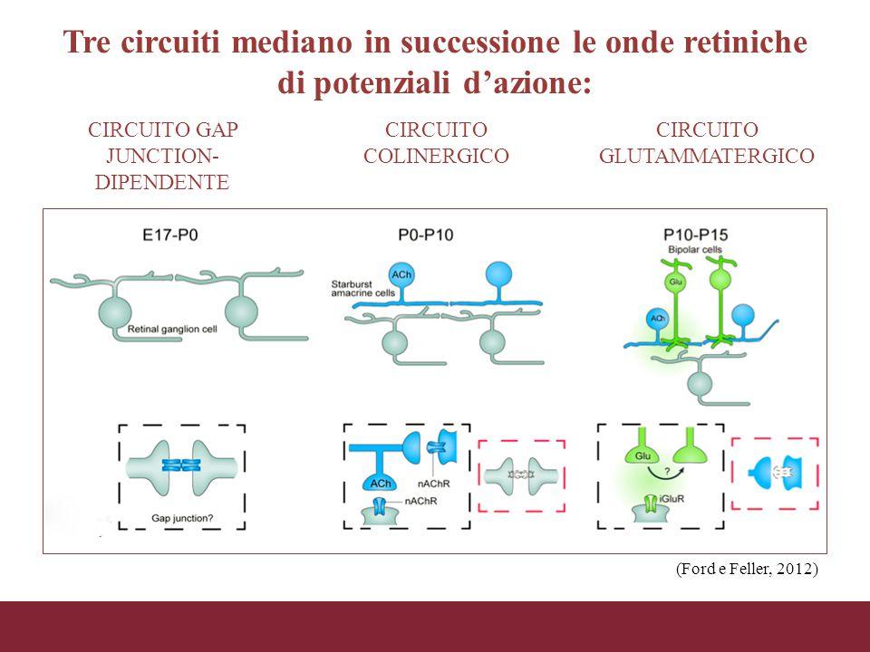 Tre circuiti mediano in successione le onde retiniche di potenziali d'azione: CIRCUITO GAP JUNCTION- DIPENDENTE CIRCUITO COLINERGICO CIRCUITO GLUTAMMA
