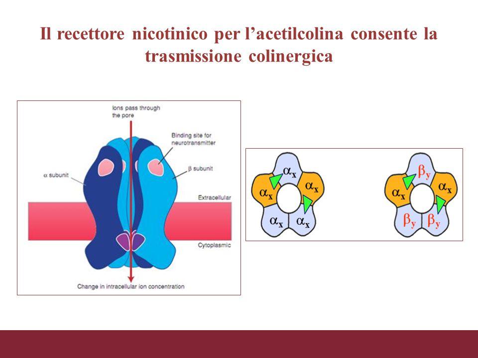 Il recettore nicotinico per l'acetilcolina consente la trasmissione colinergica
