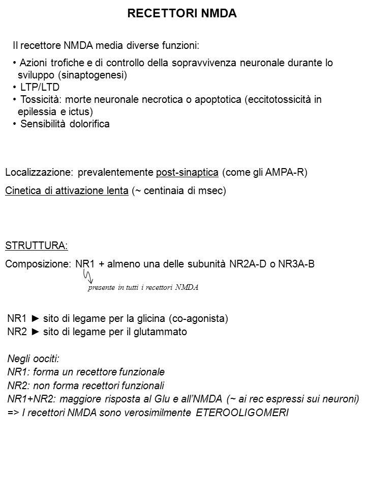 RECETTORI NMDA Localizzazione: prevalentemente post-sinaptica (come gli AMPA-R) Cinetica di attivazione lenta (~ centinaia di msec) STRUTTURA: Composi