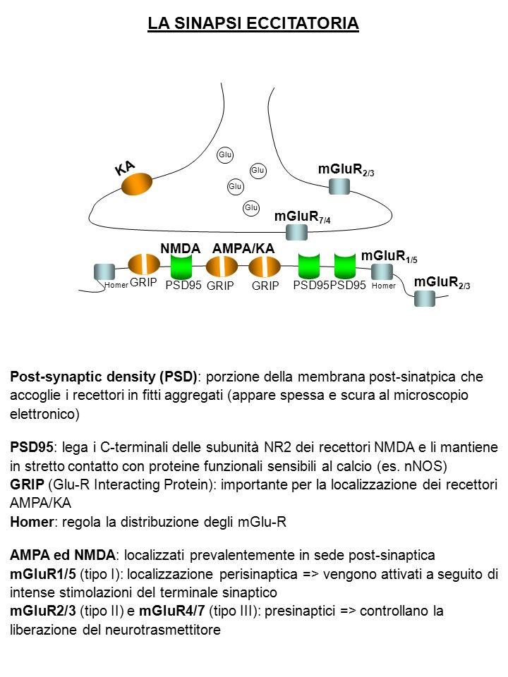 LA SINAPSI ECCITATORIA Glu GRIP Homer GRIP PSD95 KA mGluR 2/3 mGluR 7/4 mGluR 1/5 mGluR 2/3 NMDAAMPA/KA Post-synaptic density (PSD): porzione della me