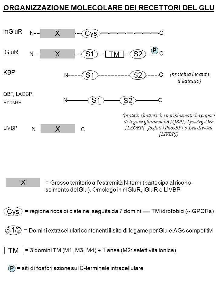 ORGANIZZAZIONE MOLECOLARE DEI RECETTORI DEL GLU mGluR iGluR KBP QBP, LAOBP, PhosBP LIVBP X X X Cys S1 S2 TM P N N N N N C C C C C (proteina legante il