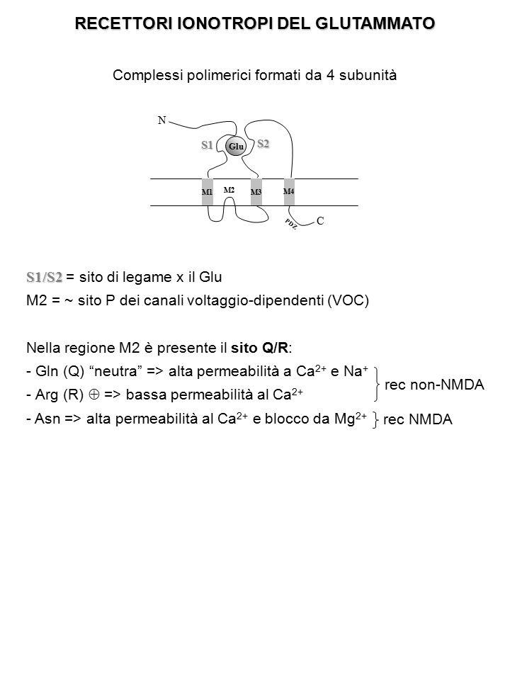 RECETTORI IONOTROPI DEL GLUTAMMATO Complessi polimerici formati da 4 subunità M1 M3 M2 M4 C NS1 S2 Glu PDZ S1/S2 S1/S2 = sito di legame x il Glu M2 =