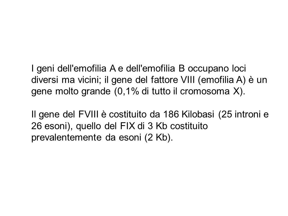 I geni dell'emofilia A e dell'emofilia B occupano loci diversi ma vicini; il gene del fattore VIII (emofilia A) è un gene molto grande (0,1% di tutto