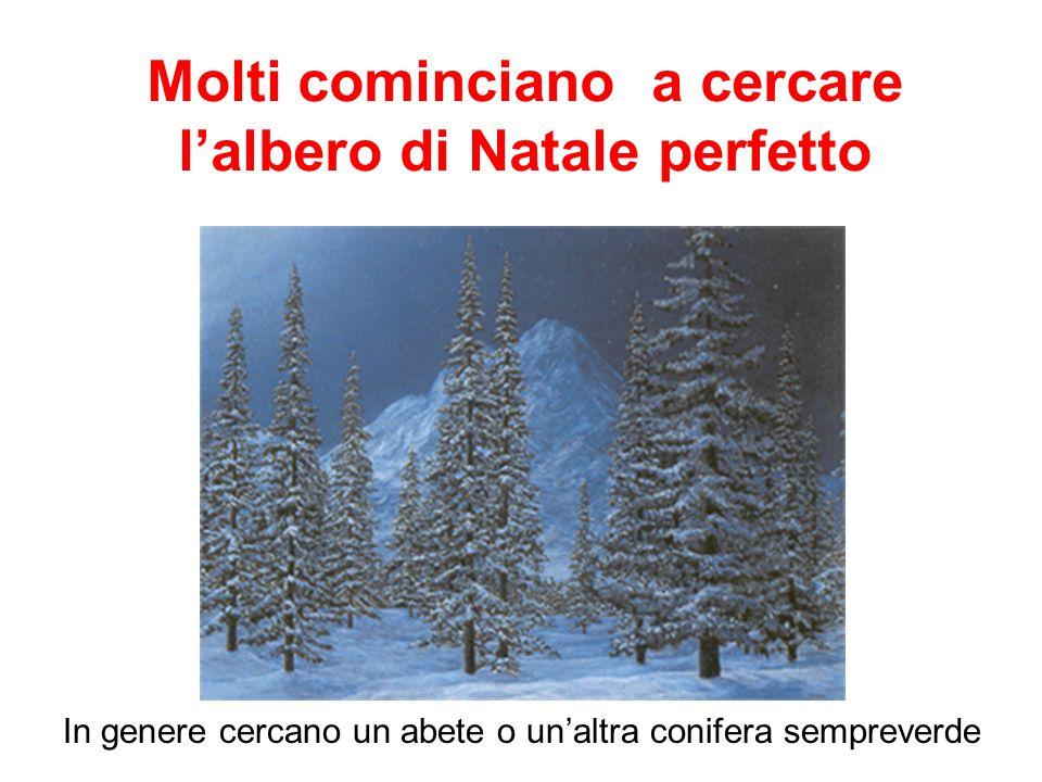 Molti cominciano a cercare l'albero di Natale perfetto In genere cercano un abete o un'altra conifera sempreverde