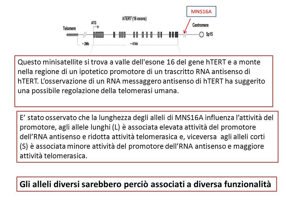 E' stato osservato che la lunghezza degli alleli di MNS16A influenza l'attività del promotore, agli allele lunghi (L) è associata elevata attività del